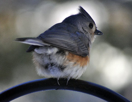 eastern-tufted-titmouse
