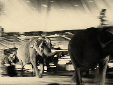 Elephants on parade at the Carson Barnes Circus in Wicker Park, Highland IN, Summer 2009